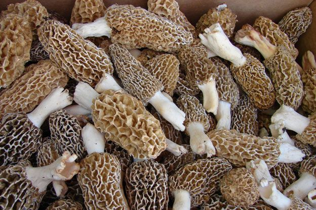 As morel hunting season approaches, expert Ron Kerner explains how to hunt, identify and prepare morel mushrooms.