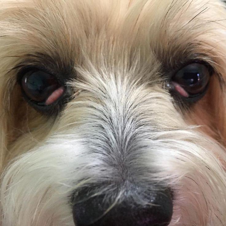 Proud to be Veterinarians O prolapso da glandula da terceira palpebra ou cherry eye ocorre devido a fragilidade no ligamento entre o tecido conectivo ventral e periorbital da terceira palpebra acarretando na eversao dorsal da glandula tornando-se aumentada e inflamada devido a sua exposicao cronica. A afeccao pode apresentar-se uni ou bilateralmente. Paciente: Laila Raça: Lhasa Apso Espécie: Canina Idade: 8 anos Sexo: Fêmea _______________________________________________________ Foto…