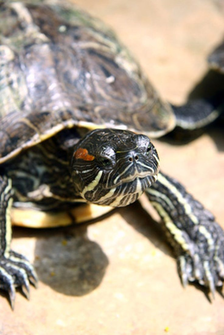 How to Tell a Boy Turtle Apart From a Girl Turtle Red