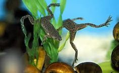 African dwarf frogs are too cute! I <3 them!