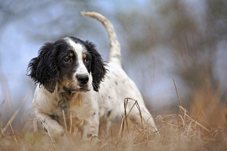 If u don't think an English setter puppy pointing and being all serious is the cutest thing ever ur probably into Griffons or Bulldogs. This pup has all the raw material to be a great bird dog. #englishsetter #englishsetters #englishsetterofinstagram #puppy #pup #puppies #gundog #gundogs #garminhuntfish #birddog #birddogoftheday #birdhunting #birdhunter #filsonlife #fieldandstream #mossyoak #purina @purina by billbuckleyphoto