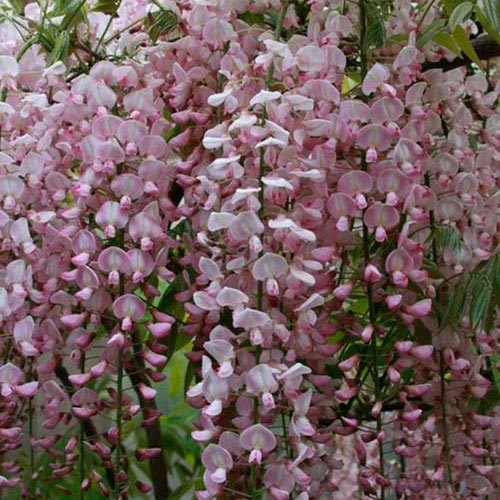35 Best Wisteria Lodge Images On Pinterest: 35 Best Images About Wisteria Vines On Pinterest