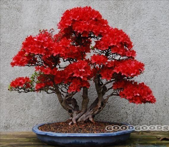 die besten 25 red maple bonsai ideen auf pinterest bonsai baum preis japanischer ahorn. Black Bedroom Furniture Sets. Home Design Ideas