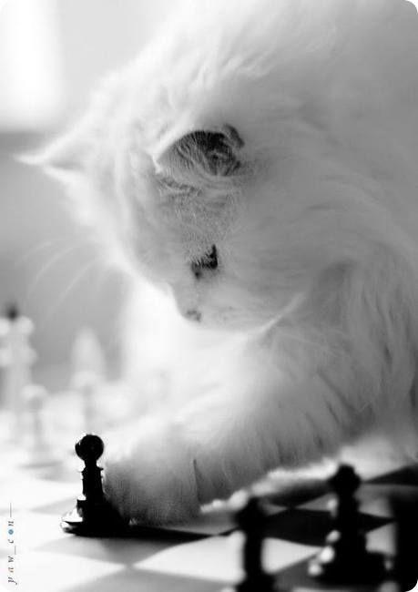 magnifique chat angora blanc jouant aux echecs