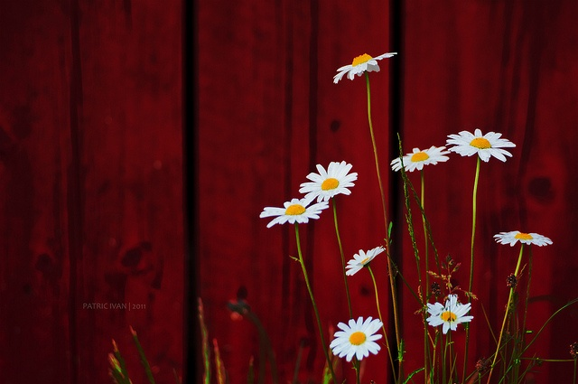 : Beautiful Daisies, Children, Flowers, Beautiful Life, Pretty, Photography, Red Garage, Country, Delight Daisies