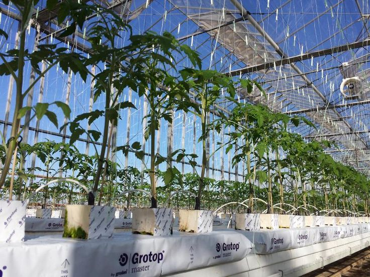 In case of sunshine ,no worries about the young tomato plants on @Grodan @HydroponicsGr in North Greece