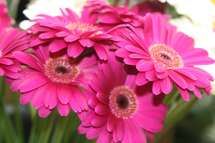 Vibrant fresh Gerber daisies from Little Mountain Greenhouses.