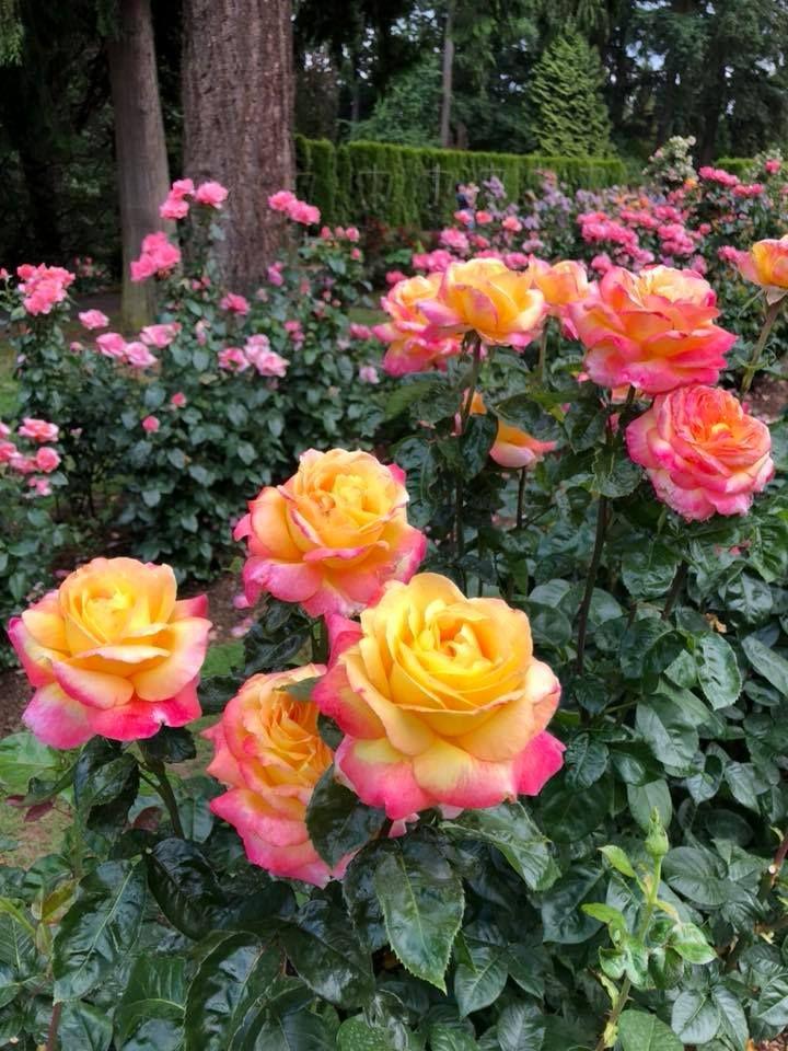 Https Www Facebook Com Foirtg Photos A 456768541178137 1073741830 437344276453897 869208186600835 Type 3 Theater Flowers Beautiful Flowers Rose
