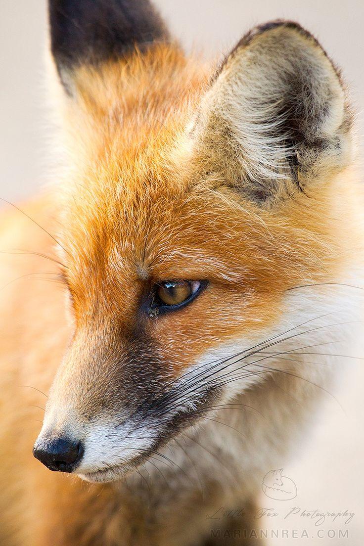 Fox | Vixen | Tod | Renard | лисица | Zorro | 狐 | Sionnach | Volpe | Red Fox by Mariann Rea                                                                                                                                                      More