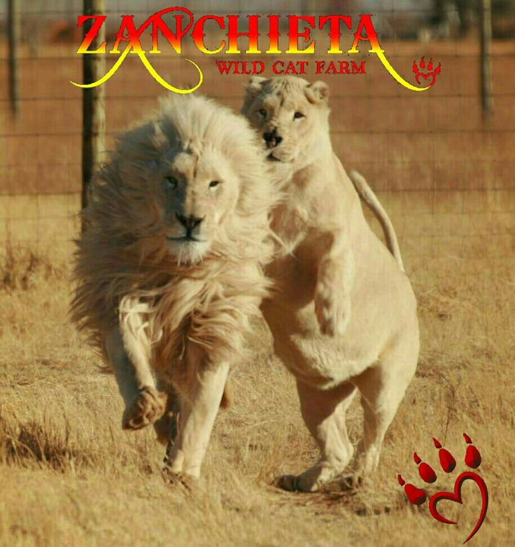 William Wallace & Princess. First two #whitelions on #zanchietawildcatfarm