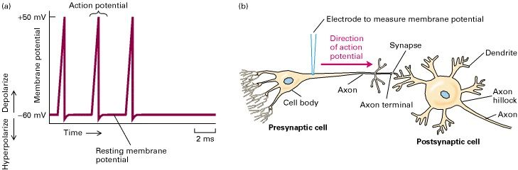 an action potential in a neuron Keywords: action potential, neuron.