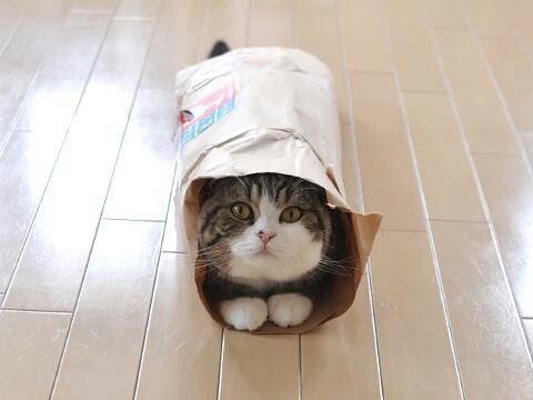 Best Maru The Cat Images On Pinterest Adorable Animals Cats - Meatball the fat cat kept eating everyones food so his owners came up with a clever solution