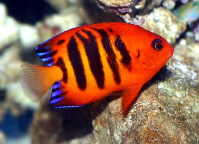 The Flame Angel Fish - I used to have one of these, it was beautiful!