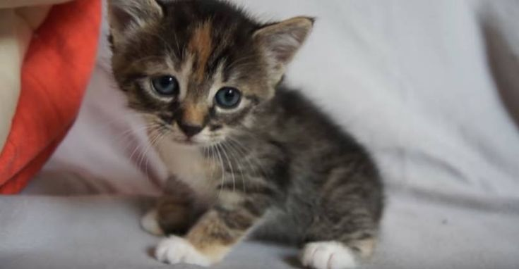 Cute Baby Kitten Meows Because Mama Cat Is Not There Kittens Cutest Baby Baby Kittens Cute Cats And Kittens