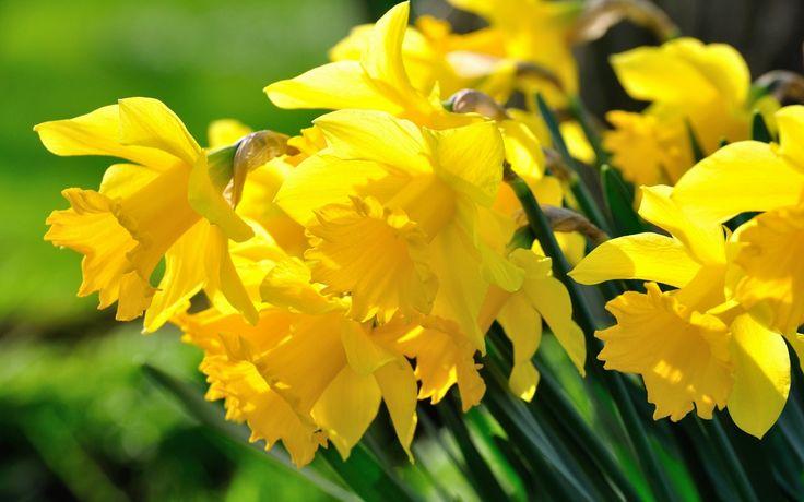 Скачать обои макро, жёлтые, нарциссы, раздел цветы в разрешении 1440x900