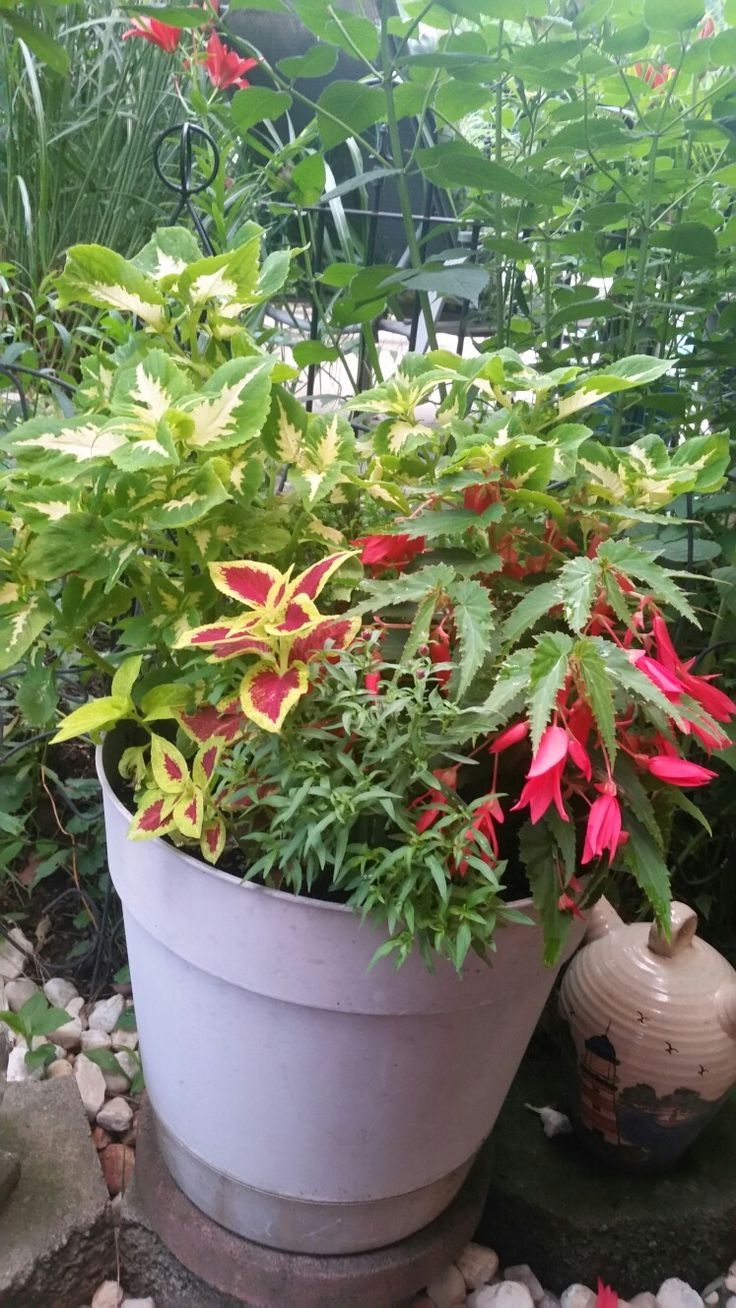 coleus begonia snapdragons container planting