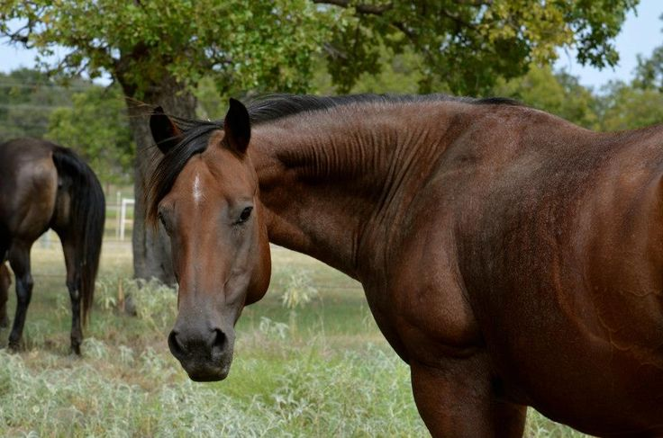 Quarter Horse mare Musty Zan Quail