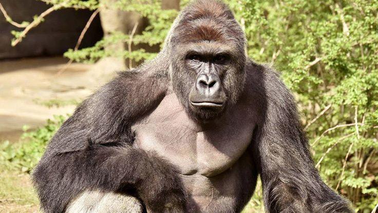 El animal fue abatido después de agarrar y arrastrar durante 10 minutos a un niño de cuatro años que se había caído al foso de los gorilas en el zoo de Cincinnati.</p> <p>Más de 40.000 personas (en el momento de la publicación) han firmado la petición en apoyo de la propuesta de castigar a los padres del niño que el pasado 28 de mayo se cayó al foso de los gorilas en el zoológico de...