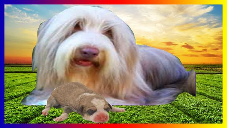 Bearded Collie - The intelligent dog breed giving birth to 4 cute puppies