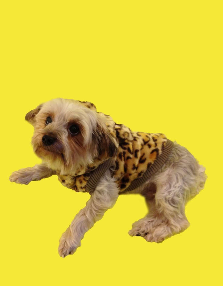 Everyone looks their best in leopard especially dogs! Eli the yorkie dog is too cute!  #puppy #yorkshire terrier  www.fetchdogfashions.com
