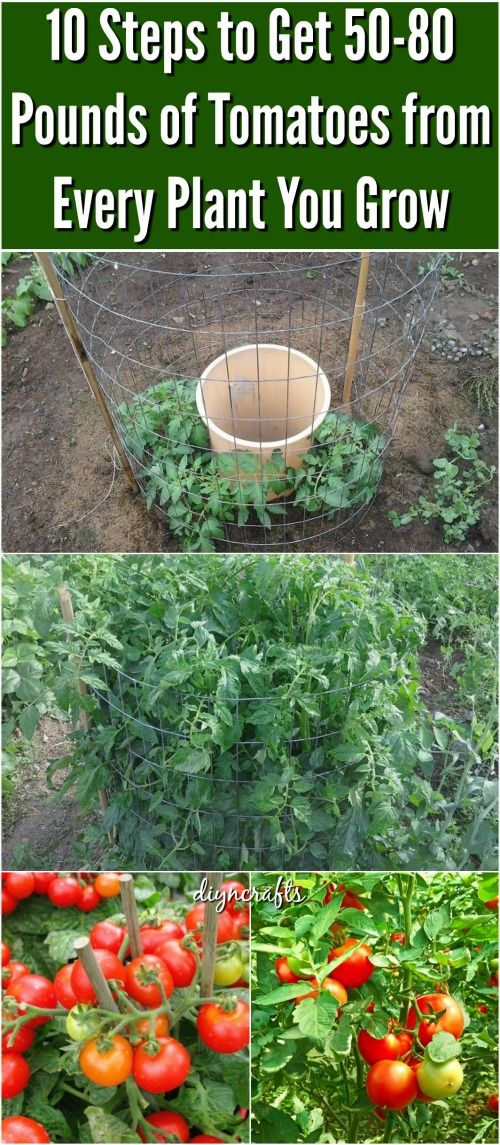 10 Steps to Get 50-80 Pounds of Tomatoes from Every Plant You Grow. Revealed: Make sure you research which Tomatoes grow best in your growing zone and fertilizer the soil as you plant it. The best part for me was that I nee something taller taller than the tomato cages I have been currently been using!