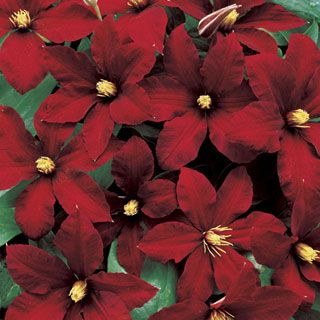 Clematis 'Niobe' - Evergreen, rich red Clematis that blooms from summer to fall on compact vines.