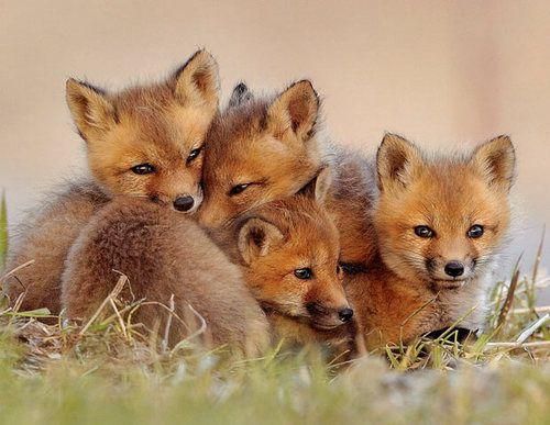 Fox fox fox!!!!