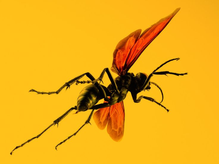 "Absurd Creature of the Week: If This Wasp Stings You, 'Just Lie Down and Start Screaming'    He recounts one enterprising scientist who netted 10 tarantula hawks—and of course reached in to grab them: ""Undeterred after the first sting, he continued, receiving several more stings, until the pain was so great he lost all of them and crawled into a ditch and just bawled his eyes out."""