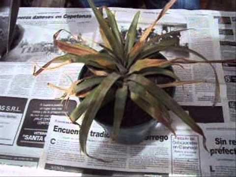 Como recuperar una planta en mal estado por exceso de agua for Como recuperar agua piscina verde
