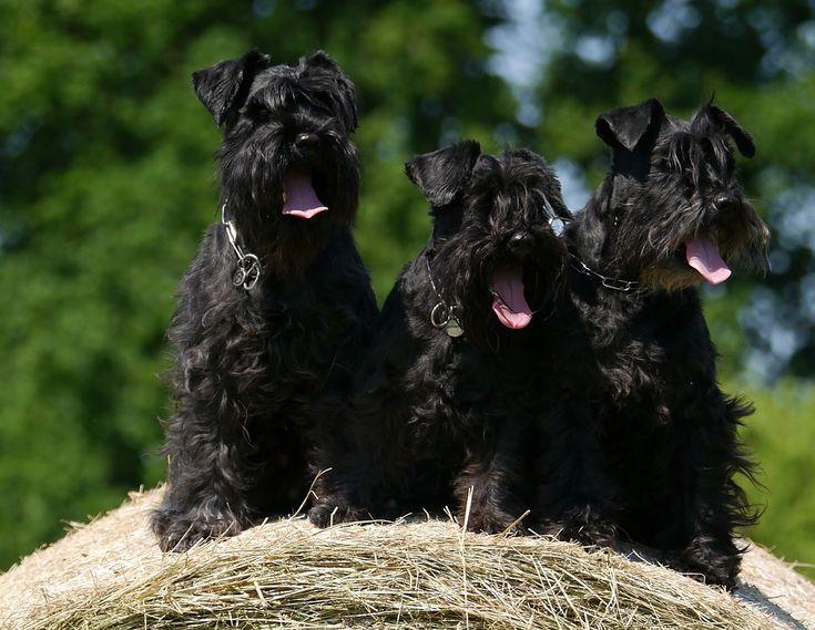 Cães, Schnauzer, Fardos De Feno