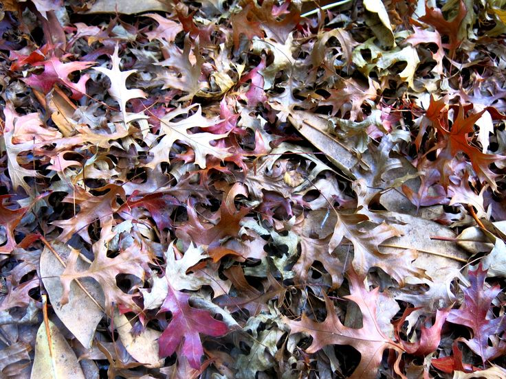 Autumn oak leaves carpet the streets, Blackheath, NSW