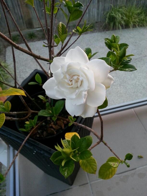 Home grown gardenia