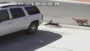 Cat saves little boy from dog attack. http://cdn.newsapi.com.au/image/v1/external?url=http://content6.video.news.com.au/F4dWd3bTpvG5zL4DGJQN8scLXWRJNsRQ/promo224367035&width=650&api_key=kq7wnrk4eun47vz9c5xuj3mc