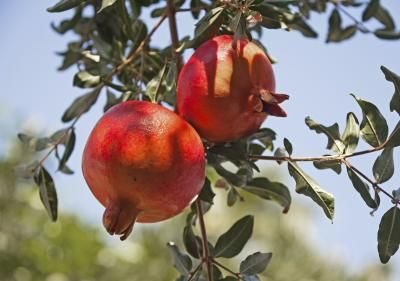 Pomegranate cuttings root with minimal effort, making them a satisfying shrub to propagate for both beginners and advanced gardeners.