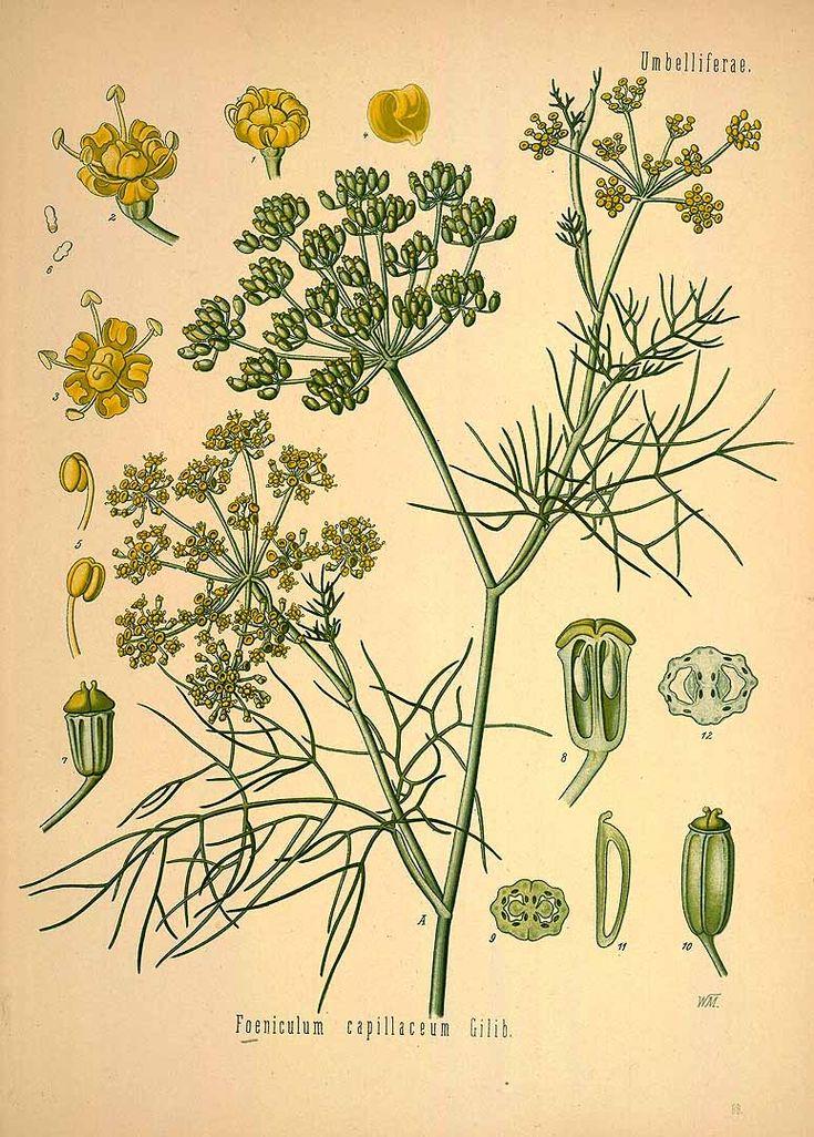 les 44 meilleures images du tableau pices aromates sur pinterest dessins botaniques herbes. Black Bedroom Furniture Sets. Home Design Ideas