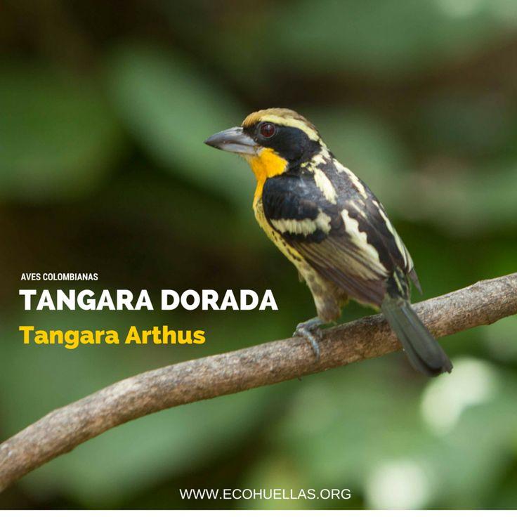 Tangara Dorada.   David Osorio L & Rafael Rincón   Aviario Nacional De Colombia  #EcoHuellas #EcoCielo #AvesColombianas