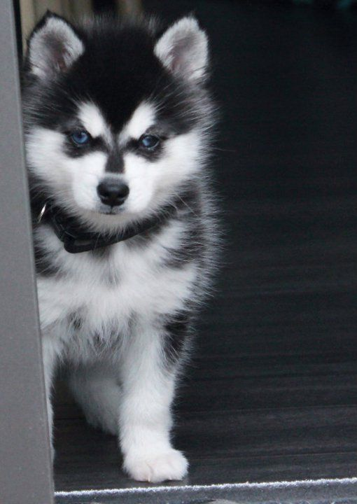 Alaskan Klee Kai Puppy (mini husky), Ferris