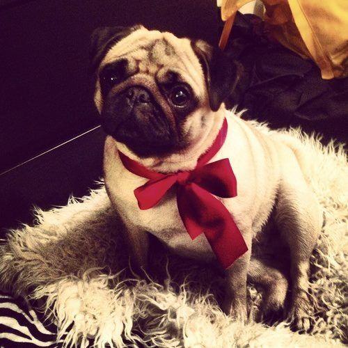 ❤ Pugs? Follow me!