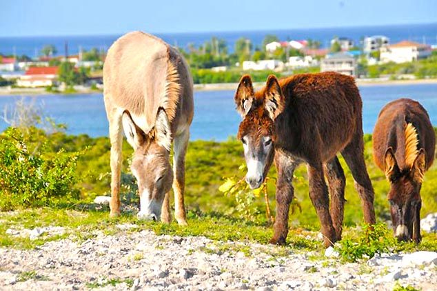 wild donkeys grand turk island