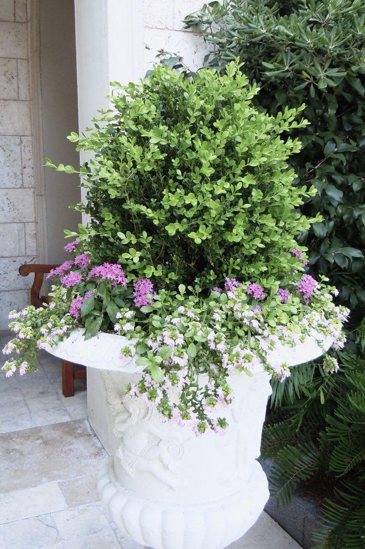 flower friday – boxwood!