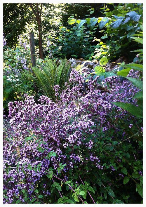 Late summer bloom in my garden. Sölvesborg south of Sweden.