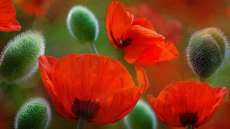 Beautiful Poppy Flowers HD is a HD wallpaper posted in Poppies Flowers category. You can download free covers created from original image or you can create an Original and Unique Facebook Cover, Twitter Cover or Google Plus Cover using our cropping plugin, just click on the buttons from below the image to preview ready made …