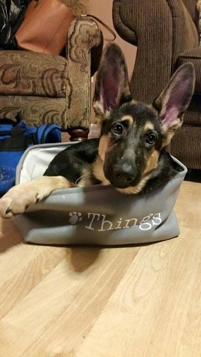 German shepherd Puppy- just look at those gorgeous big tall ears. Just lovely