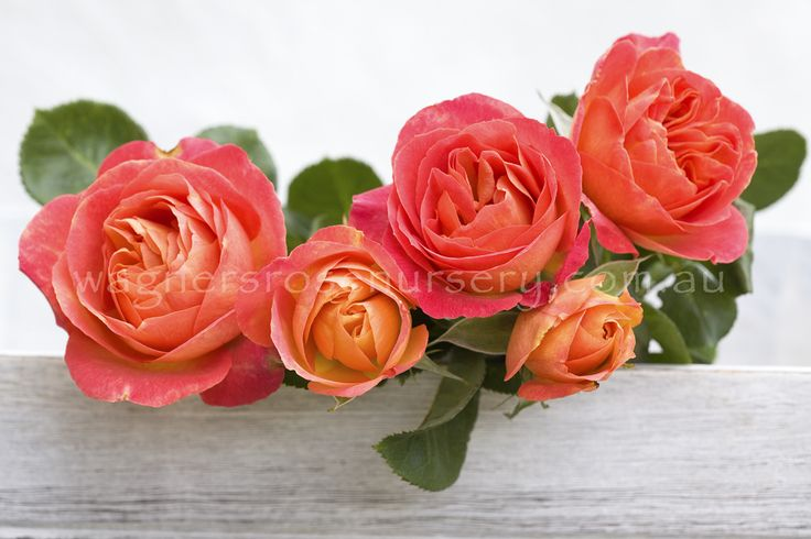 La Jago.  Delbard French roses.