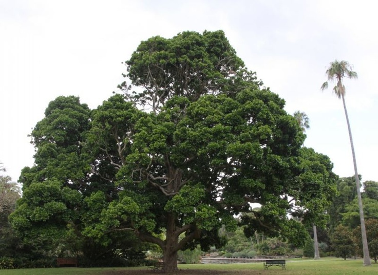 Circumference : 3.55 m Height : 19 m  EPBC Act Listing Status 	Listed as Vulnerable Planting Ideas and Uses:    - Attract birds and nectar feeding insects to your garden.    - Wonderful specimen tree for subtropical to temperate climates.