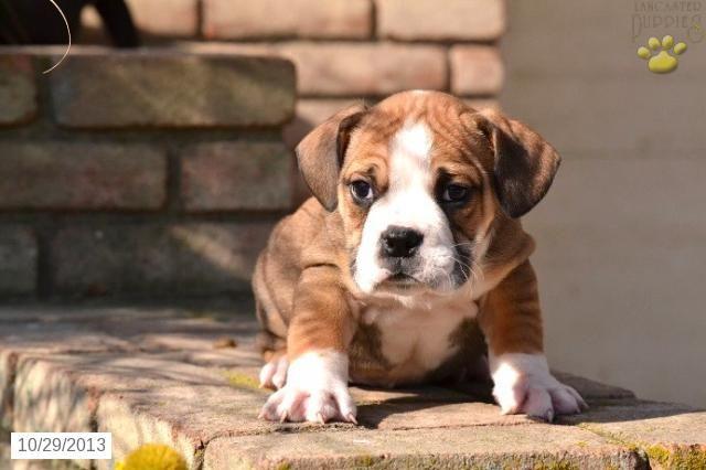 Puppyfinder.com: Samoyed puppies puppies for sale near me Indiana