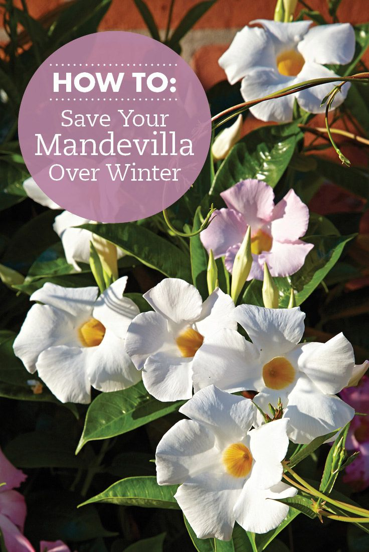 Save money by overwintering plants indoors for next year. Learn how to keep mandevilla indoors til spring. #gardening #overwinterplants #mandevilla