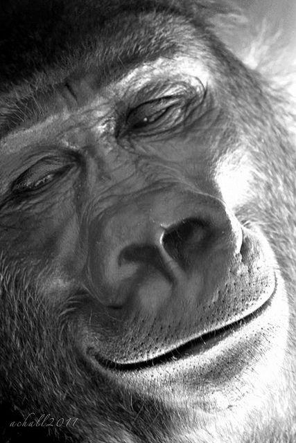 @Amanda Snelson Snelson Snelson Hall #photography #gorilla #smile