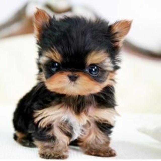 Awww Cute Little Yorkie Puppy Fabulous Furbabies