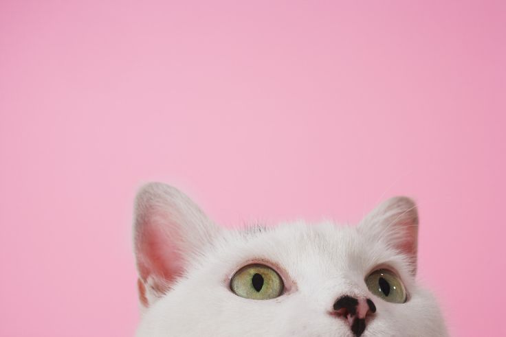White kitty on pink #cat #photography